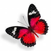 Flying Red Butterfly Isolated On White Background With Soft Shadow