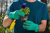 Male Hands Holding Pansy Seedling