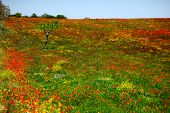 Field Of Red And Yellow Poppies In Apulia, Italy