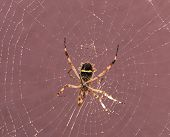 Spider On Cobweb