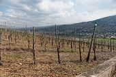 foto of moselle  - Riesling vineyards on Moselle river - JPG