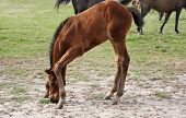 Thoroughbred Baby Foal