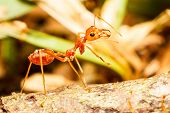 stock photo of mandible  - Red weaver ant resting on old log