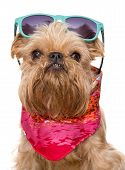 Brussels Griffon In Sunglasses