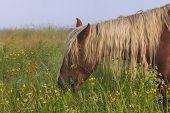 Horse Grazing On A Beautiful Flower Misty Meadow