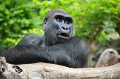 Black Gorilla Resting on a Wooden Pole