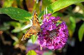 Tortoiseshell butterfly on Buddleja.
