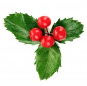 picture of aquifolium  - European Holly  - JPG
