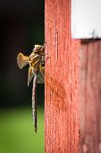 Dragonfly on red wall