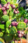 Ripe Prickly Pear Fruit