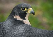 Peregrine Falcon (Falco peregrinus) Outstretched Wings