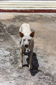 Thai Stray Dog