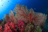 Gorgonian Fan Corals