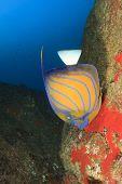 Ringed Angelfish