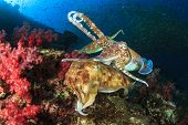 stock photo of cuttlefish  - Pair of Cuttlefish mating - JPG