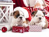 stock photo of christmas puppy  - puppies christmas english bulldog - JPG