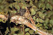 Three-striped Palm Civet Eating Fig