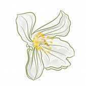 White Jasmine Flowers Vector