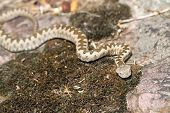 Young European Horned Viper In Natural Habitat