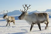 foto of antlers  - Reindeers in natural environment, Tromso region, Northern Norway