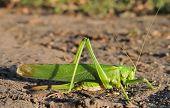Long-horned Grasshoppers