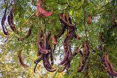 Fruit Tree Gleditsia