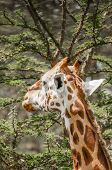 Giraffe Eating from an Acacia