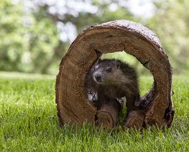 image of groundhog  - Young woodchuck - JPG