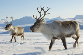 picture of nature conservation  - Reindeers in natural environment, Tromso region, Northern Norway ** Note: Shallow depth of field - JPG