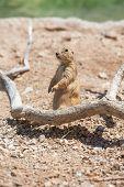 foto of prairie  - Single cute prairie dog standing up in desert - JPG