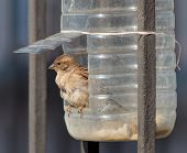 picture of trough  - portrait of a sparrow in a plastic trough - JPG