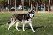 picture of siberian husky  - Black Siberian Husky runs across the field at a moderate pace - JPG