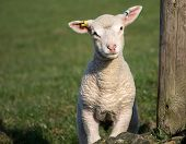 picture of spring lambs  - Cute Spring Lambs Holmfirth in West Yorkshire