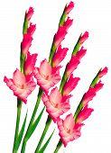 stock photo of gladiolus  - Pink gladiolus isolated on the white background - JPG