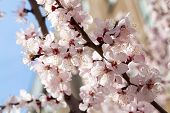 picture of apricot  - Branches of a white flowering apricots with a sunlight - JPG