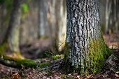 pic of conifers  - Close up of trunk of conifer tree in wilderness area on sunny day in early spring in Scandinavia - JPG