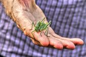 foto of locust  - Huge locust in the hand of natural scientist.