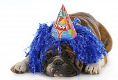 stock photo of dog birthday  - dog wearing silly birthday hat and wig with reflection on white background - JPG