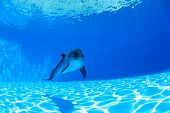 foto of dolphins  - Dolphin swims under the water and looking at the camera - JPG