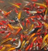 stock photo of koi fish  - Fancy carp fishs in pool.