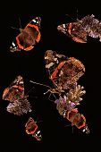 Red Admiral Collage