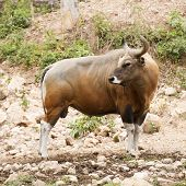 picture of cattle breeding  - Wild Cattle walking on the hill and looking something - JPG