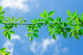 stock photo of creeper  - The Green Creeper Plant on background sky - JPG