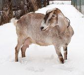 foto of nubian  - Nubian brown goat standing on white snow - JPG