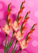picture of gladiolus  - Beautiful red gladiolus over the bright background - JPG