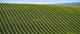 pic of bordeaux  - Vineyard Sunrise  - JPG