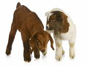 two baby goat twins - purebred south african boer - one kalahari, the other traditional color