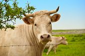 picture of charolais  - White cow gazing up from pasture with stone wall in background - JPG
