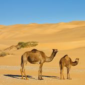 Camels In The Desert - Awbari Sand Sea, Sahara Desert, Libya