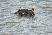 Hippo wet in water with only head stick out